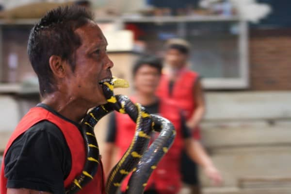 Man Holding Snake In Mouth Snake Show Thailand Join The