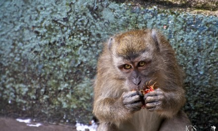 Travel Photo Of The Week: Monkey Eating a Rambutan – Batu Caves, Malaysia